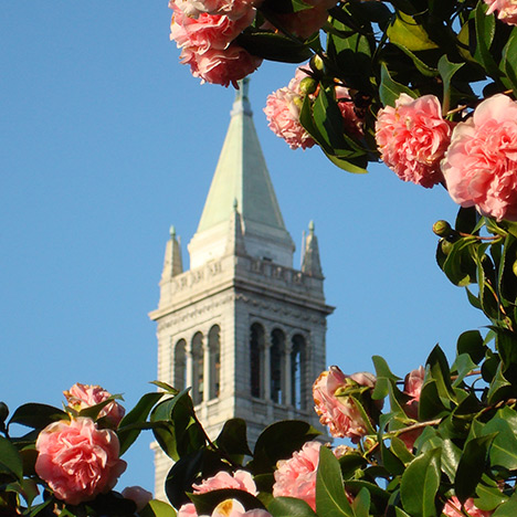 Campanile with camellias. Photo by Steve Finacom.